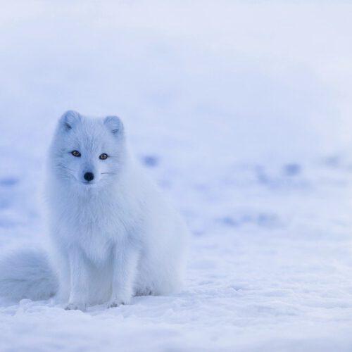 fox-yule